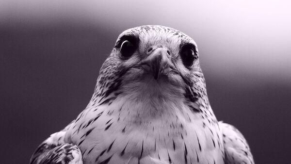 Un halcón - Sputnik Mundo