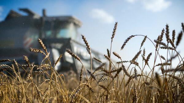 Cosecha de trigo (imagen referencial) - Sputnik Mundo
