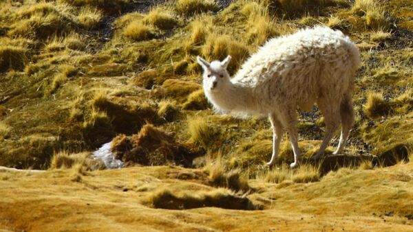 Lamas - Sputnik Mundo