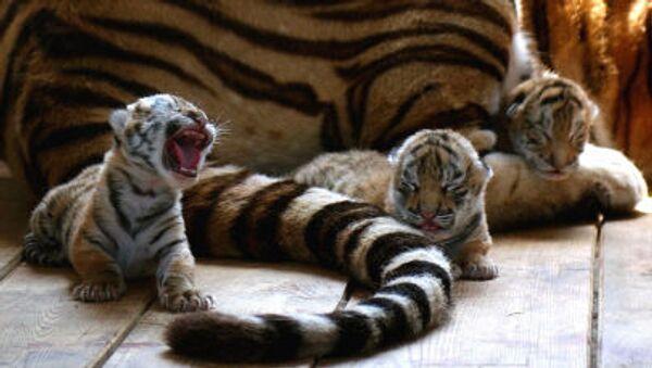 Tigres de Amur - Sputnik Mundo