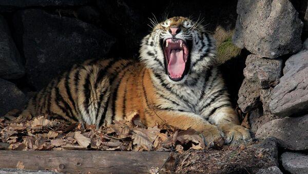 Su majestad el tigre siberiano - Sputnik Mundo