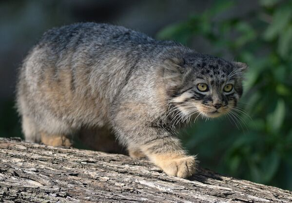 En peligro de extinción: los animales más raros del mundo - Sputnik Mundo