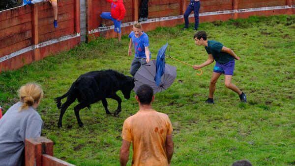 Sin sangre ni dolor. Las corridas de toros portuguesas en todo su esplendor - Sputnik Mundo