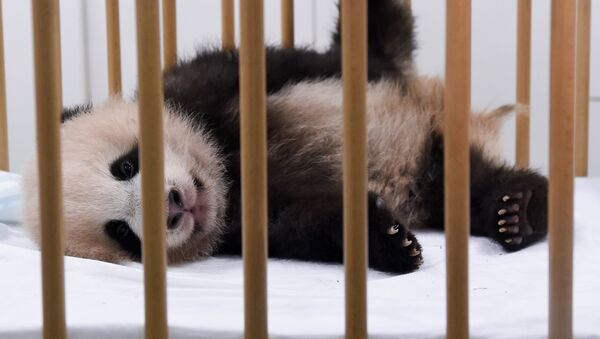 Three-month-old baby panda Tian Bao is pictured during a press conference on the name of the animal at the Pairi Daiza animal park, on September 15, 2016, in Brugelette, Belgium - Sputnik Mundo