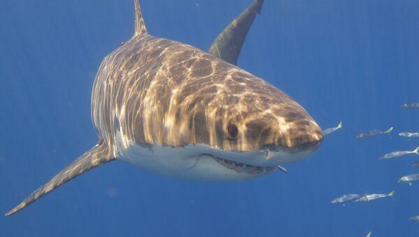Tiburón blanco - Sputnik Mundo