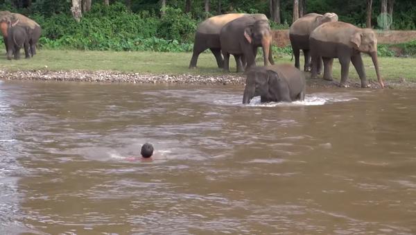Un 'heroico' elefante se lanza a las aguas para salvar a su cuidador - Sputnik Mundo