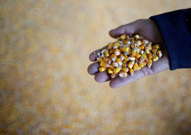 Granos de maíz (imagen referencial)