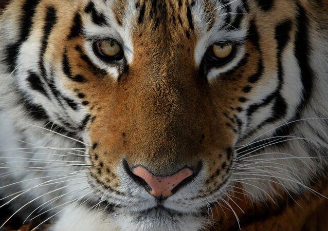 Un tigre (imagen referencial)
