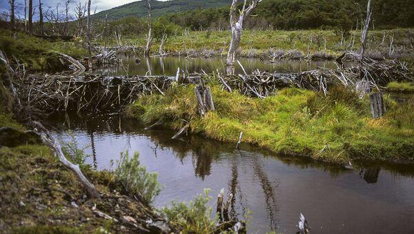 Un dique de castores en Tierra del Fuego - Sputnik Mundo
