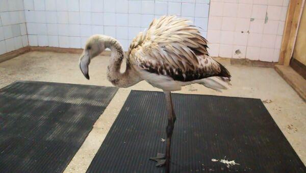 El flamenco Vasya de Siberia rescatado por el zoo local - Sputnik Mundo
