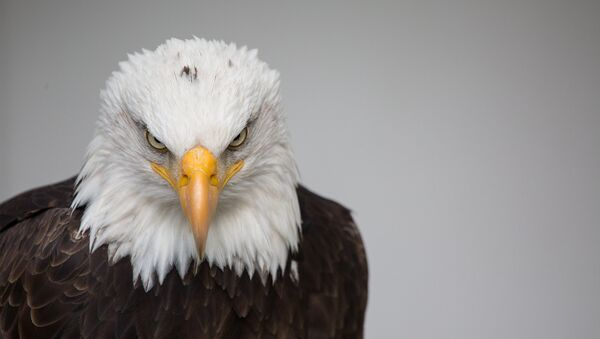 Águila de cabeza blanca, símbolo nacional de EEUU - Sputnik Mundo