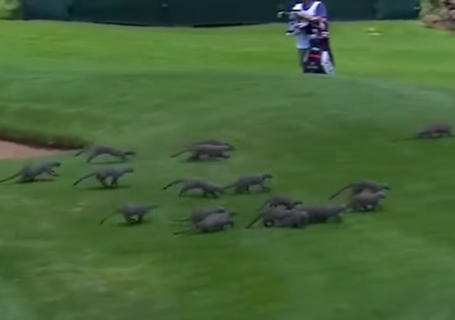 Decenas de mangostas invaden un torneo de golf