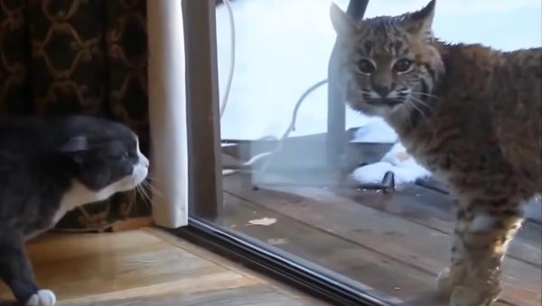 Lince salvaje aterroriza a un gato doméstico - Sputnik Mundo