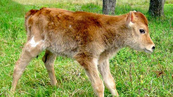Vaca Alma C1, clonada en Perú - Sputnik Mundo