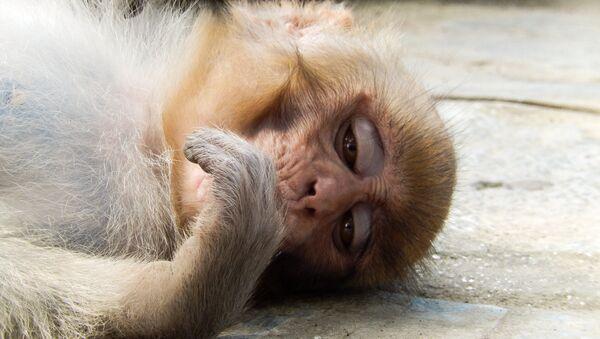 Un macaco Rhesus triste - Sputnik Mundo