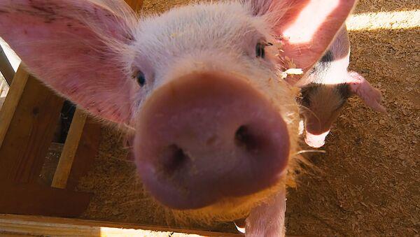 Cerdo (Archivo) - Sputnik Mundo