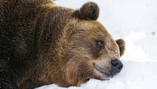 Tired bear on the snow - Sputnik Mundo