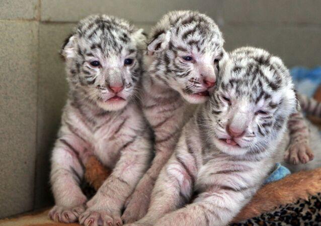 Los tres cachorros blancos de tigre de Bengala en Crimea