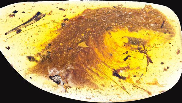 La cola de un pequeño dinosaurio en una piedra de ámbar - Sputnik Mundo