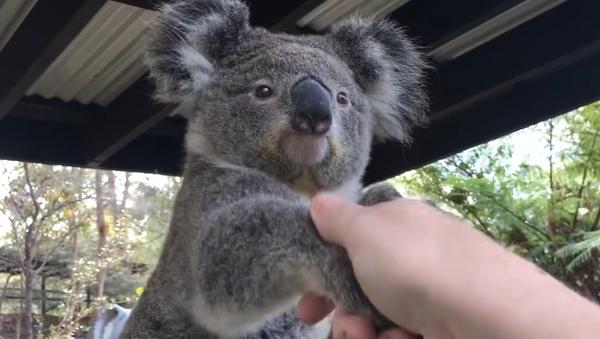 Un koala saluda a una persona - Sputnik Mundo