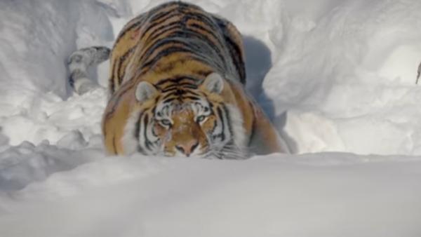 Los tigres salvajes, más cerca que nunca - Sputnik Mundo