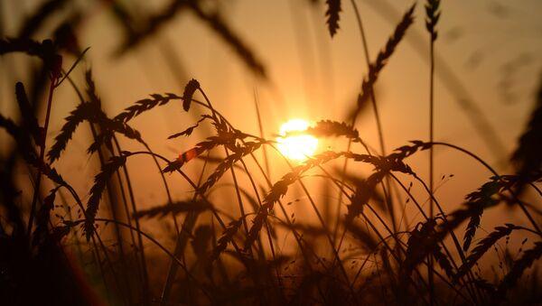 Уборка урожая зерновых в Новосибирской области - Sputnik Mundo