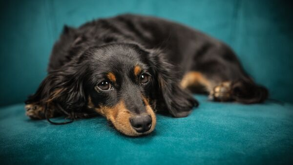 Un perro de la raza dachshund - Sputnik Mundo