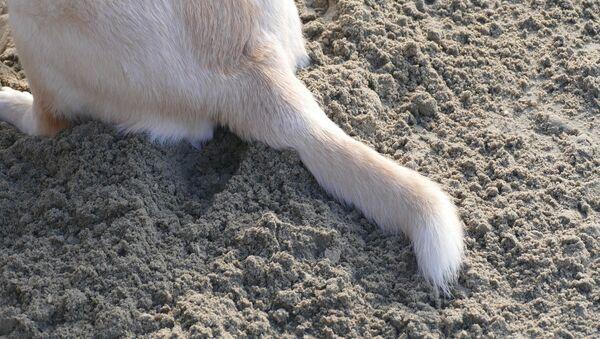 Cola de perro (imagen referencial) - Sputnik Mundo