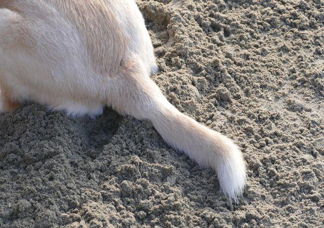 Cola de perro (imagen referencial)