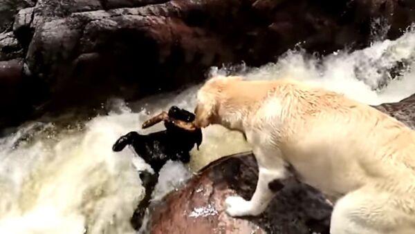 Dog saves a dog - Sputnik Mundo