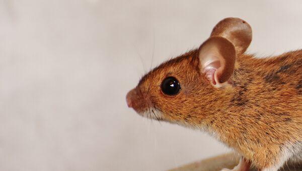 Ratón (archivo) - Sputnik Mundo
