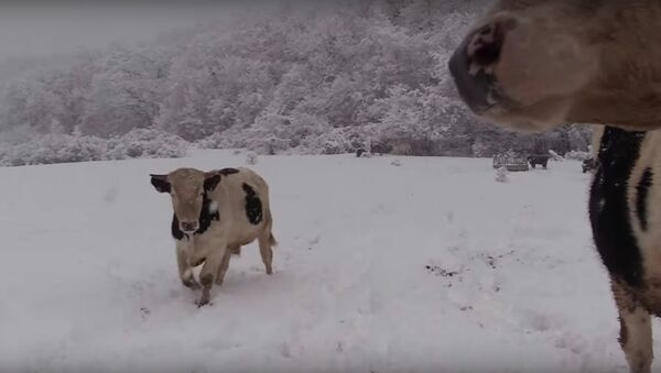 Vacas en un prado nevado - Sputnik Mundo