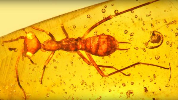 Insecto prehistórico Aethiocarenus burmanicus - Sputnik Mundo