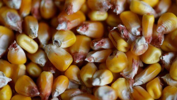 Granos de maíz (imágen referencial) - Sputnik Mundo