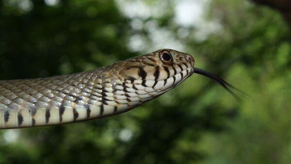 Serpiente de la especie Ptyas mucosa - Sputnik Mundo