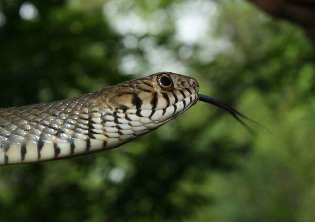 Serpiente de la especie Ptyas mucosa