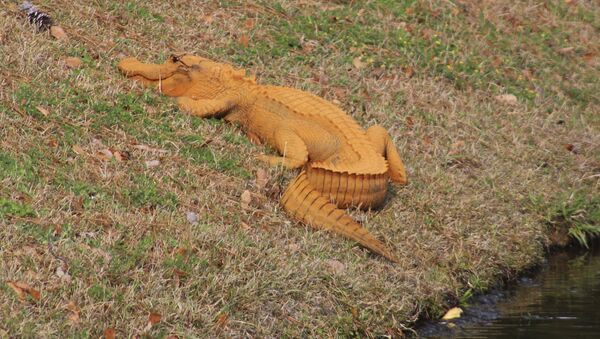 Orange Alligator - Sputnik Mundo