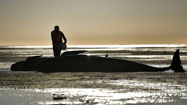 Una ballena encallada en una playa - Sputnik Mundo