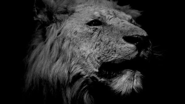 Un león (archivo) - Sputnik Mundo