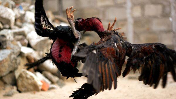 Dos gallos peleando - Sputnik Mundo