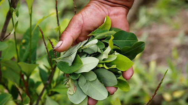 A peasant holds up coca leaves collected from his crops in Cauca, Colombia - Sputnik Mundo