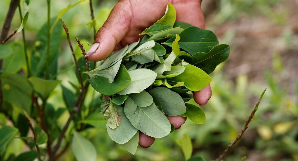 Cultivos de coca (archivo)