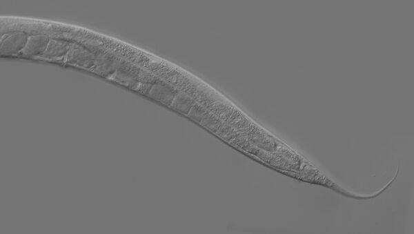 Caenorhabditis elegans - Sputnik Mundo