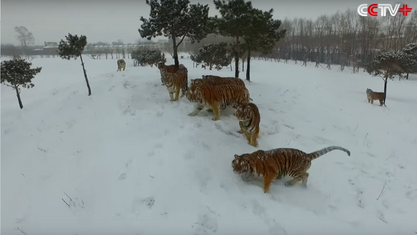 Tigres regordetes destrozan cuadricóptero que les espiaba - Sputnik Mundo