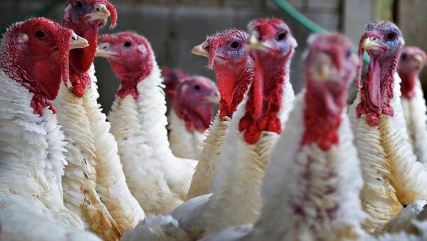Turkeys look around their enclosure at Seven Acres Farm in North Reading, Massachusetts November 25, 2014 - Sputnik Mundo