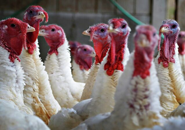 Turkeys look around their enclosure at Seven Acres Farm in North Reading, Massachusetts November 25, 2014