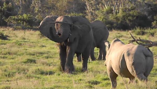 Un elefante y un rinoceronte blanco se miden en Sudáfrica - Sputnik Mundo