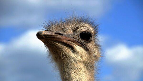 An ostrich - Sputnik Mundo