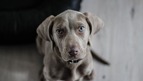 Un perro (archivo) - Sputnik Mundo