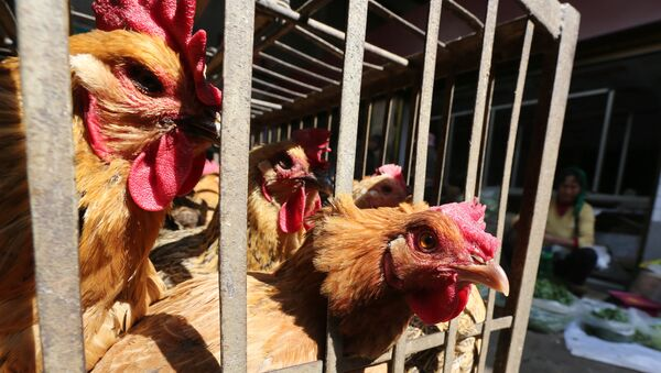 Chickens are seen in a livestock market before the market asked to stop trading on March 1 in prevention of bird flu transmission, in Kunming, Yunnan province, China - Sputnik Mundo